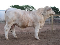 Charolais Bull.  Cattle For Sale