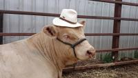 Thumbnail of Our Charolais' have style