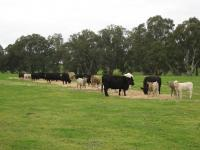 Thumbnail of Angus Cows with Charolais Cross Calves