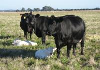 Thumbnail of Charolais Calves with Surrogate Cows